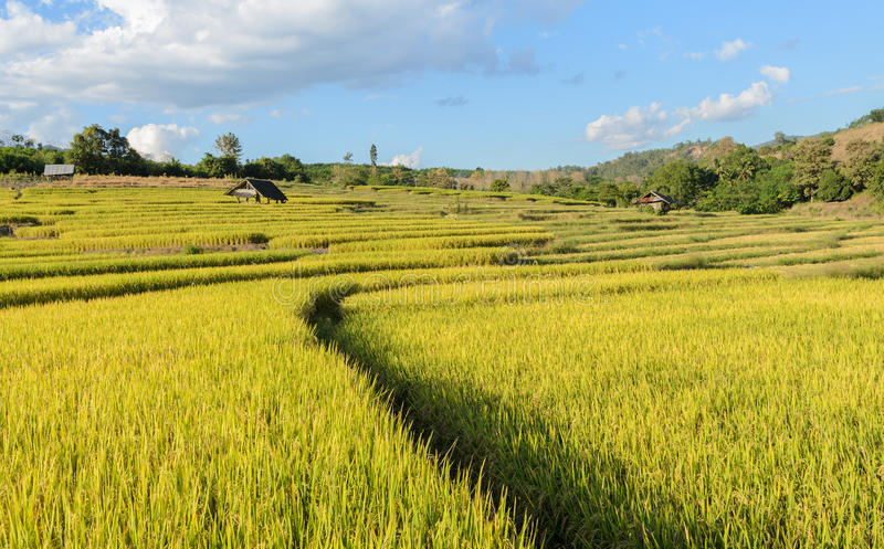 Traditional rice terraced fields royalty free stock images