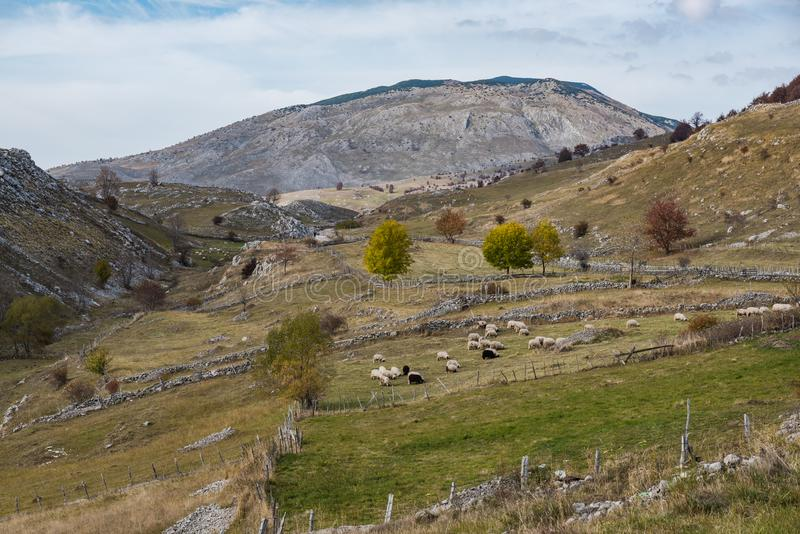 Traditional sheep pasture in remote village in Bosnia mountains. Agriculture animal autumn cattle colorful country countryside cultivated dairy domestic royalty free stock image