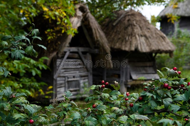 Traditional slavic house with thatch in the ethnographic park in Ukraine. Wild rose thickets around the ethnic dwelling of the ancient Slavs stock photos