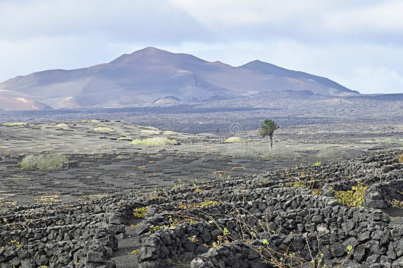 Landscape of Lanzarote with wine vineyards, solitary palm tree and volcanic mountains. Traditional stone wind shelters for the wine vines in foreground, volcanic royalty free stock photo