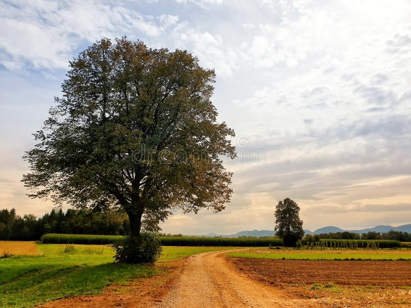A traditional tree in the middle of the field for rest or education. Backgroun, sky, blue, summer, nature, agriculture stock photography