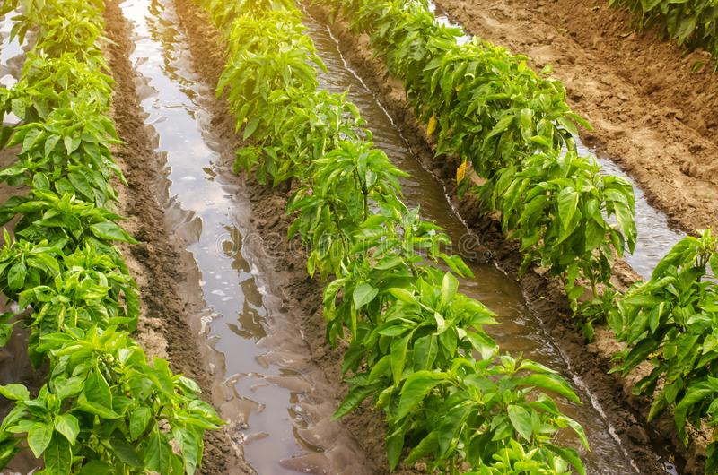 Traditional watering pepper plantations. Farming and agriculture. Watering and caring for plants, fertilizer, cultivation. Saving. Irrigation water in arid stock images