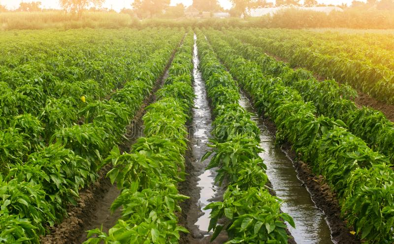 Traditional watering pepper plantations. Farming and agriculture. Cultivation, care and harvesting. Grow agricultural products. For sale. Saving irrigation royalty free stock image