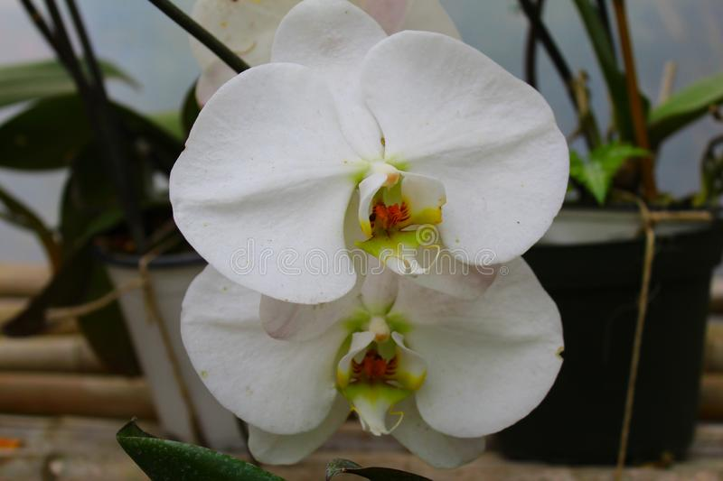 Traditional white and pink orchid with its green leaves royalty free stock images