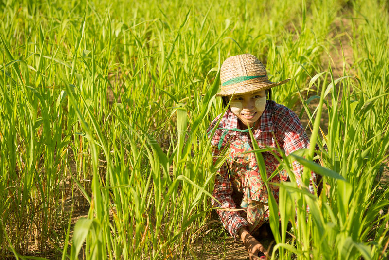 Traditional young Asian female farmer stock photos