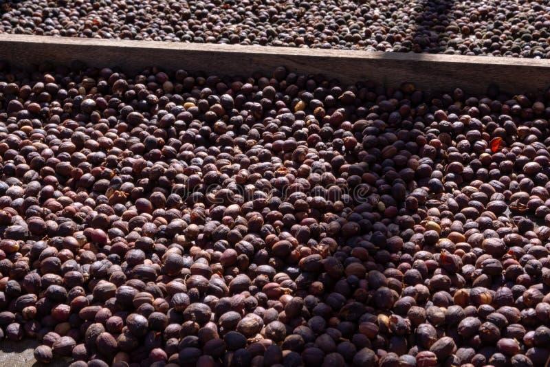 Traditionell metod av att torka mogna kaffebönor på öppet raster utanför i solljus, bio kaffelantgård arkivbild