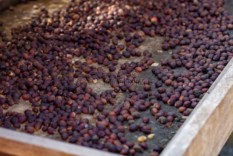 Traditionell metod av att torka mogna kaffebönor på öppet raster utanför i solljus, bio kaffelantgård royaltyfri bild