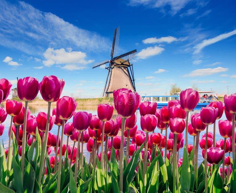Traditionella holländska väderkvarnar från kanalen i Rotterdam, djup himmelastrophoto Rader av röda tulpan i Holland arkivbilder