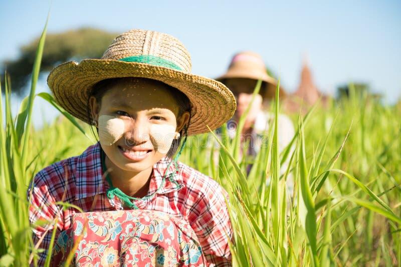 Traditionella Myanmar kvinnliga bönder som arbetar i fält arkivfoto
