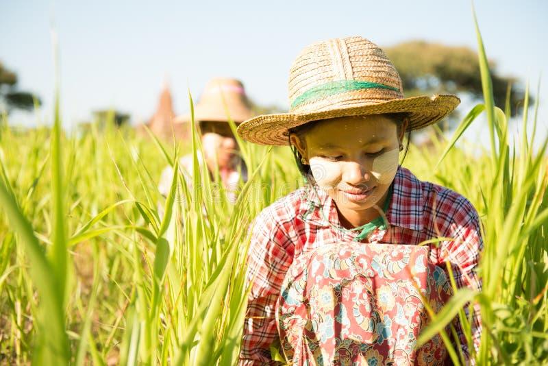 Traditionella Myanmar kvinnliga bönder som arbetar i lantgård royaltyfri foto
