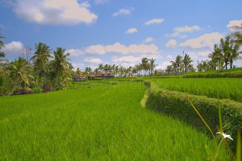 Traditionella risfältterrasser nära Ubud Indonesien royaltyfria foton