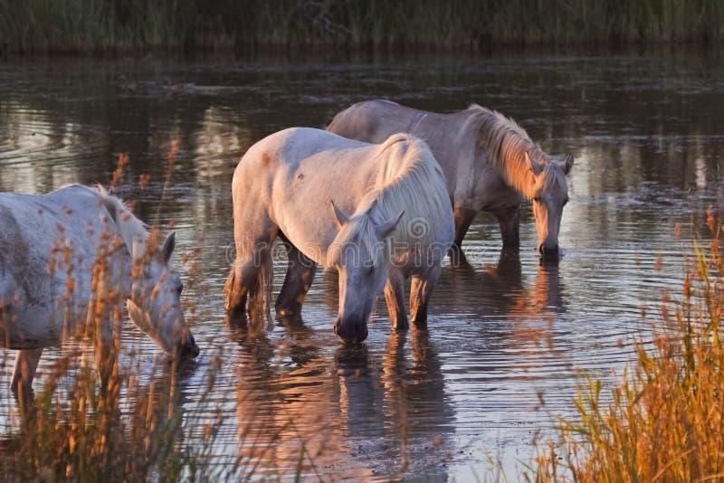 Traditionella vita Camargue hästar arkivfoton