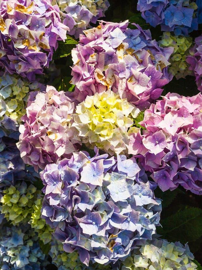 traditionelle bretonische Hortensieblumen nach Regen stockfotos