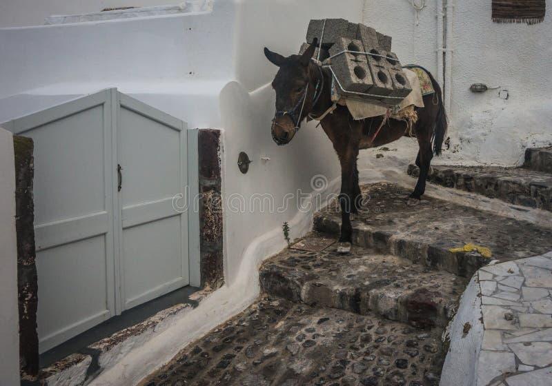 Traditionelle griechische Esel in Oia auf Santorini-Insel in Griechenland stockbild