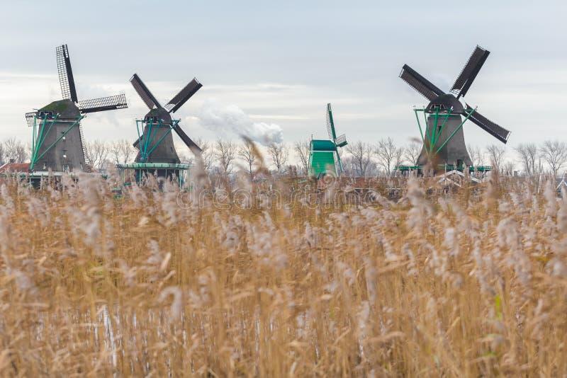 Traditionelle niederländische Windmühlen und Sumpfgebiettrockener Reedsamen geht das Wellenartig bewegen auf Wind voran lizenzfreie stockfotografie