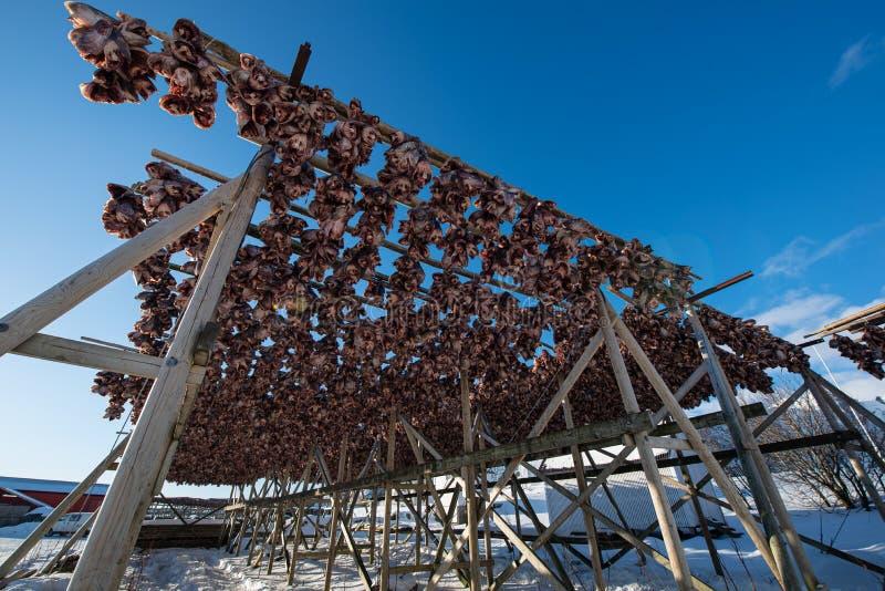 Traditionelle trocknende Kabeljauköpfe auf Holzregalen in der Wintersaison, Reine-Fischerdorf, Lofoten-Inseln, Norwegen stockbilder