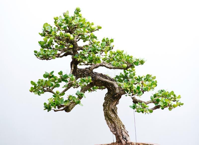 Traditioneller Bonsaibaum, japanische Kunstform unter Verwendung der Bäume gewachsen in den Behältern am regnerischen Tag lizenzfreies stockbild
