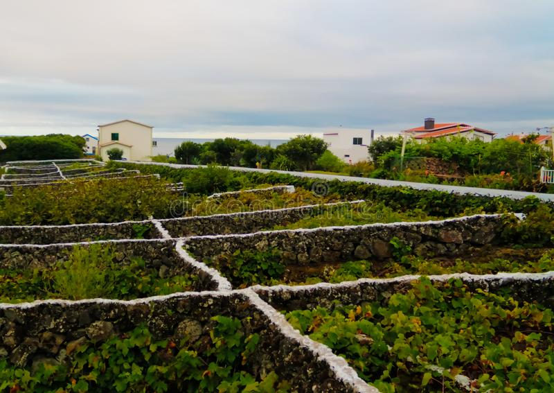 Traditioneller Weinberg in Terceira-Insel, Azoren, Portugal stockbilder