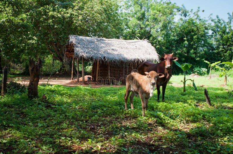 Traditionelles asiatisches landwirtschaftliches Haus und Kühe lizenzfreie stockfotografie