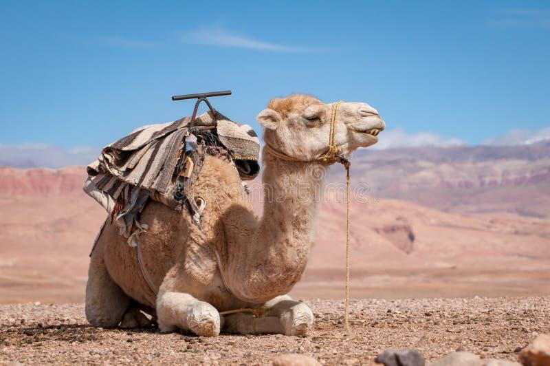 Traditionelles Dromedar, das in marokkanische Wüste legt lizenzfreie stockfotos
