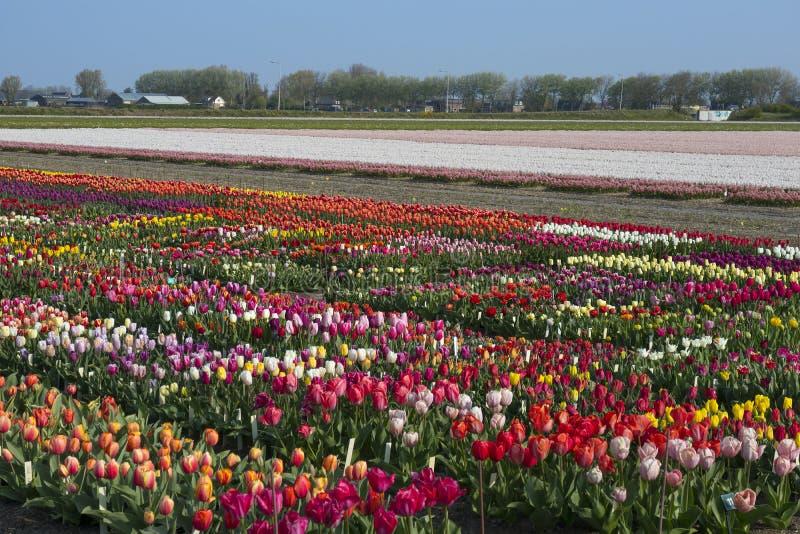 Traditionelles niederländisches Tulpenfeld mit bunten Blumen und Bauernhöfen im Hintergrund stockbild
