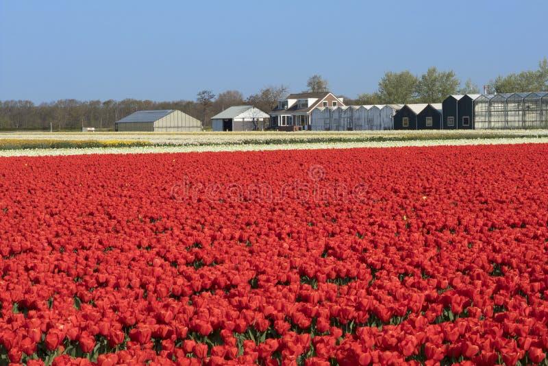 Traditionelles niederländisches Tulpenfeld mit Reihen von roten Blumen und von Gewächshäusern im Hintergrund lizenzfreie stockfotos