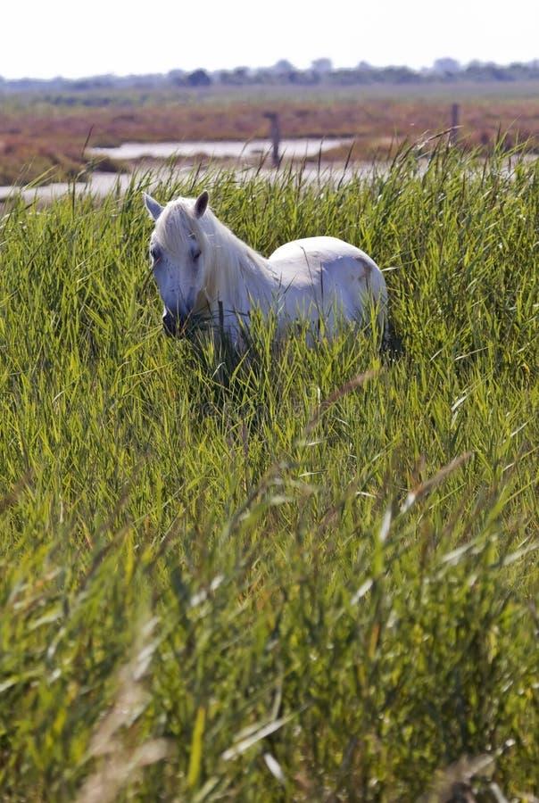 Traditionelles weißes Camargue-Pferd lizenzfreies stockbild