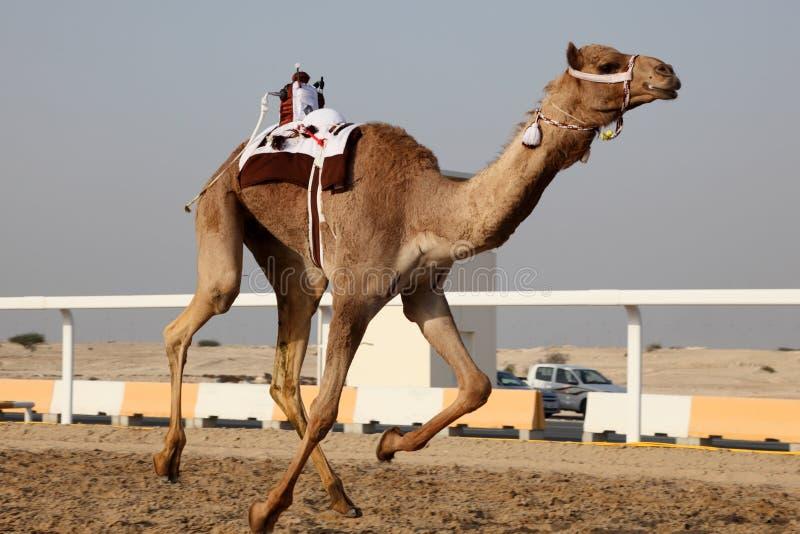 Tradycyjna wielbłąd rasa w Doha zdjęcie royalty free