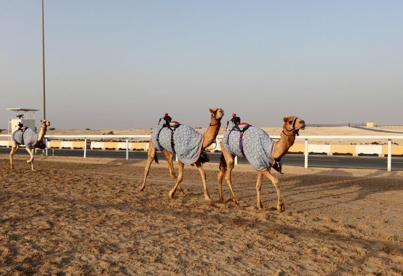 Tradycyjna wielbłąd rasa w Doha zdjęcia stock