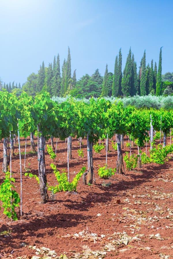 Tradycyjni Śródziemnomorscy winnicy Rzędy winogrady na gospodarstwie rolnym zdjęcia royalty free