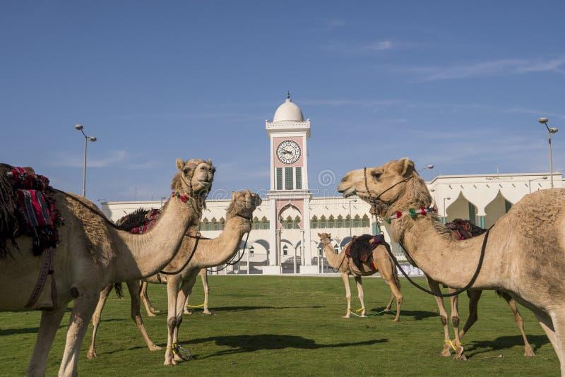 Tradycyjni arabowie jedzie wielbłądy przed Uroczystym meczetem w Doha, Katar zdjęcia stock