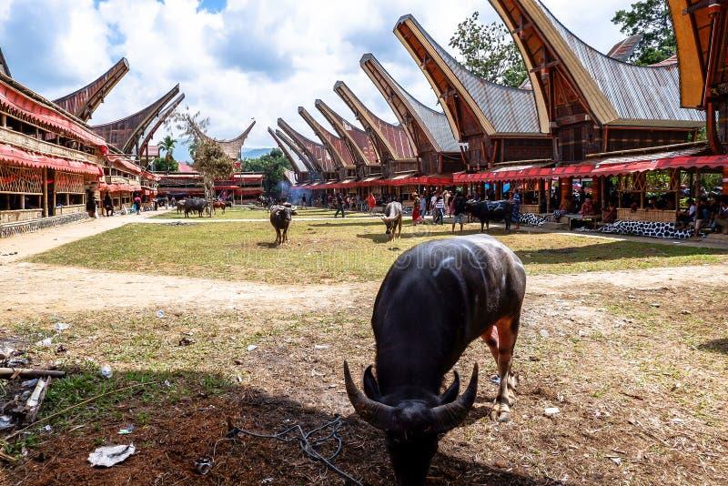 Tradycyjni festiwale Torajan przy Sulawesi zdjęcie royalty free
