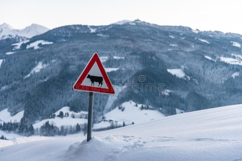 Cow warning traffic sign european red triangle. Snow-covered meadow and mountains, sunset at the background. Cow warning traffic sign - European red triangle royalty free stock photography