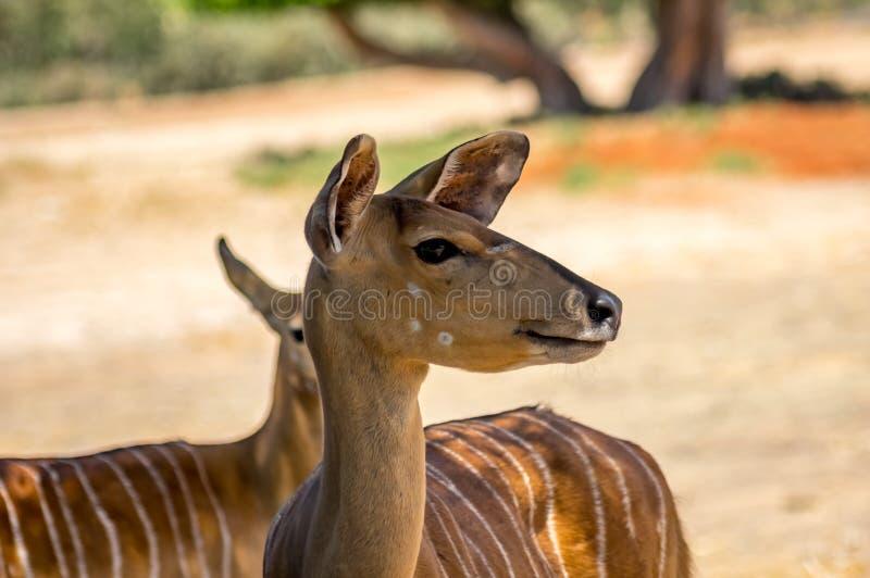 Tragelaphusangasii, antilope dichte omhooggaand stock afbeelding