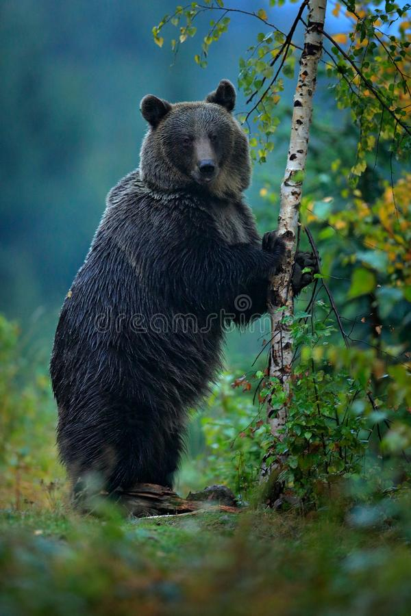 Tragen Sie steigen oben, erhalten auf ein ` s Hinterbeinen, mit Lärchenherbstbaum Braunbär vor Winter Slowakei-Berg Mala Fatra, g lizenzfreies stockbild