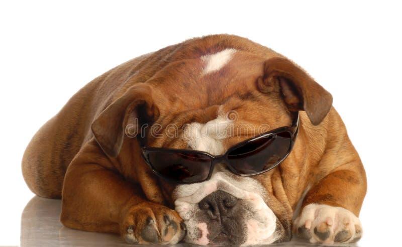 Tragende Sonnenbrillen der Bulldogge lizenzfreie stockfotos