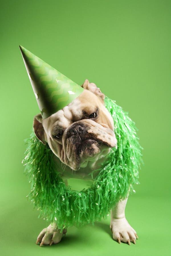Tragender Partyhut der Bulldogge.