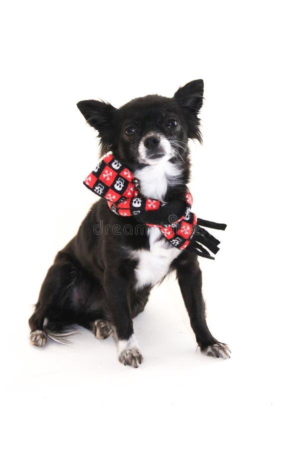 Tragender Schal der Chihuahua mit den Ohren, die oben auf einem weißen backgr haften lizenzfreies stockbild