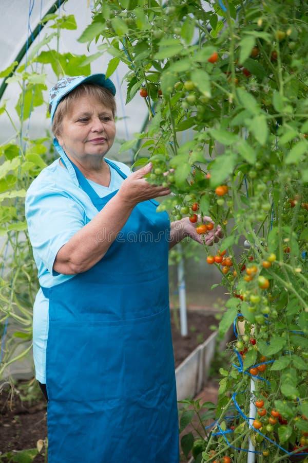 Tragendes Schutzblech und Kappe der älteren Pensionärfrau im Gewächshaus mit Tomate lizenzfreies stockbild
