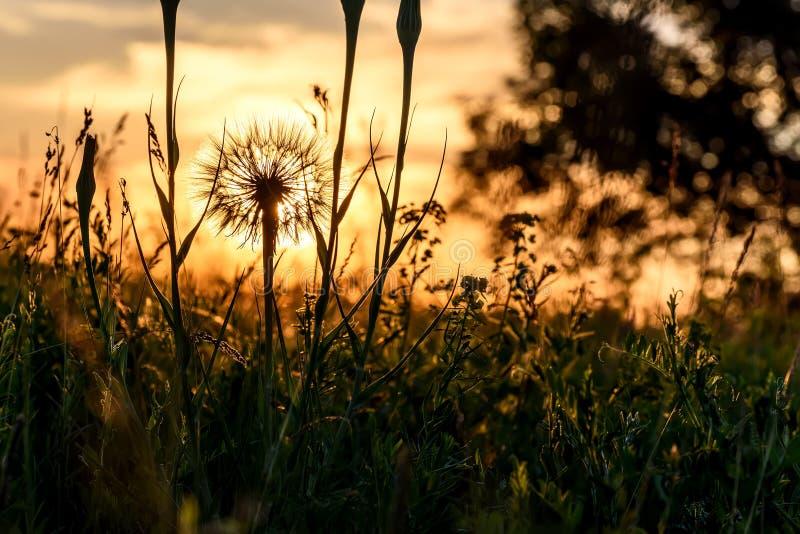Tragopogon big white fluffy close-up sunset royalty free stock image