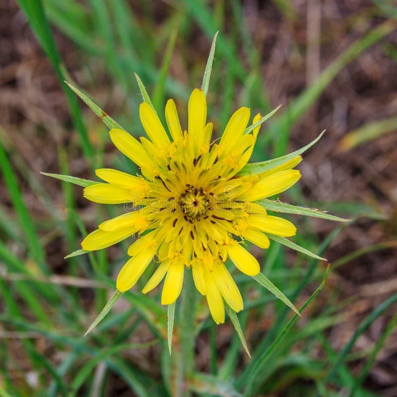 Tragopogon do Asteraceae da família fotografia de stock