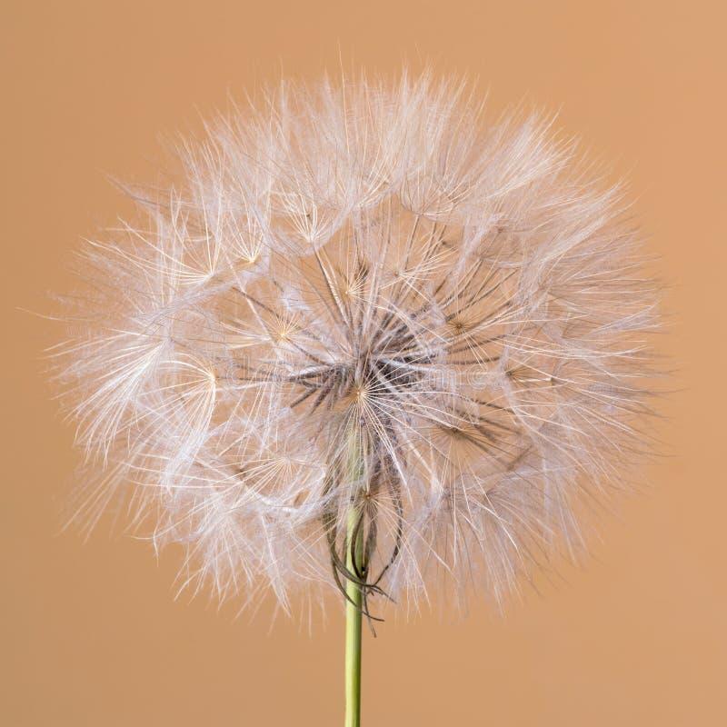 Tragopogon dubius, Dandelion, makro- wizerunek fotografia royalty free