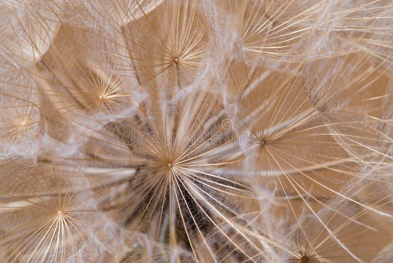 Tragopogon dubius, Dandelion, makro- wizerunek obraz royalty free