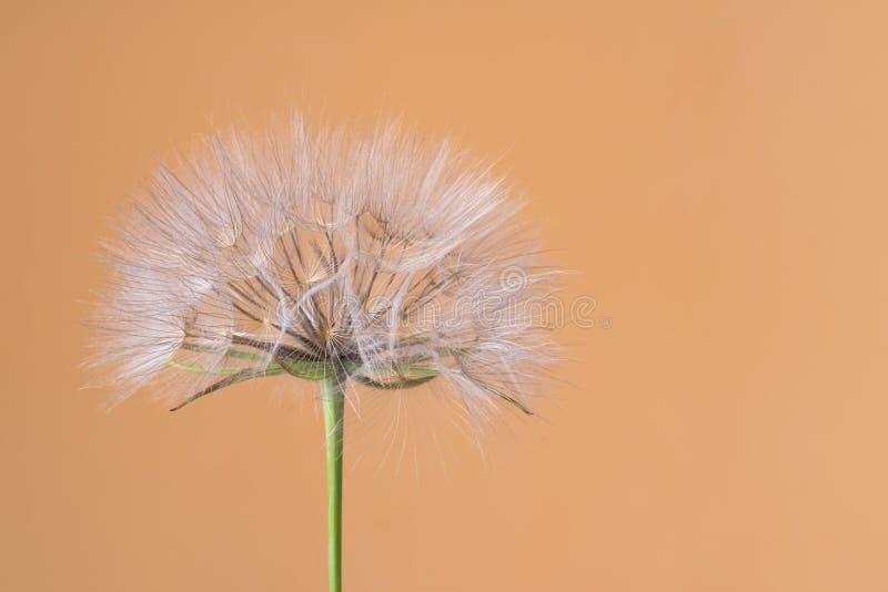 Tragopogon dubius, Dandelion, makro- wizerunek obrazy stock