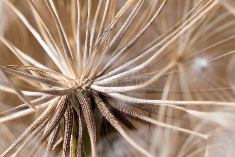Tragopogon dubius, Dandelion, makro- wizerunek fotografia stock