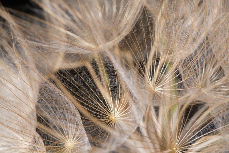 Tragopogon dubius, Dandelion, makro- wizerunek obrazy royalty free