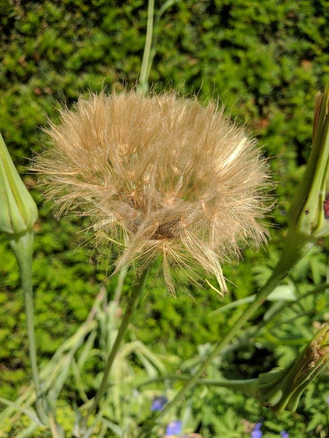 Tragopogon dubius zegar zdjęcia stock