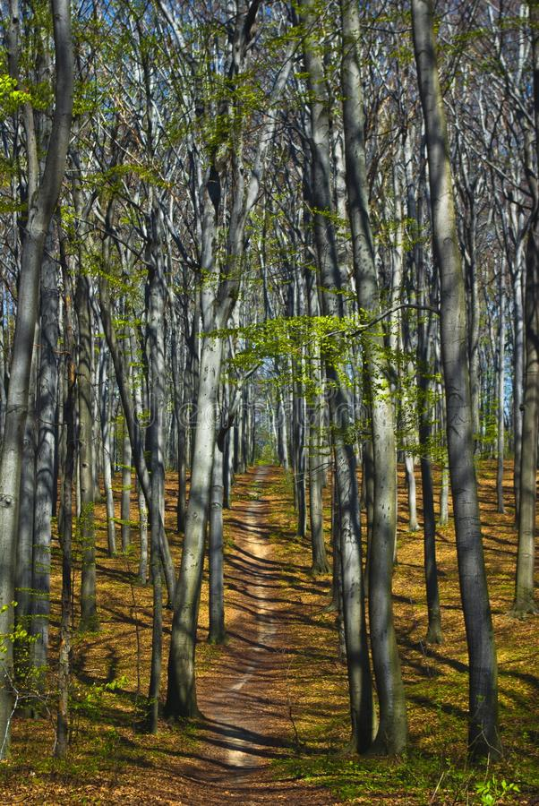 Trail in Beech forest