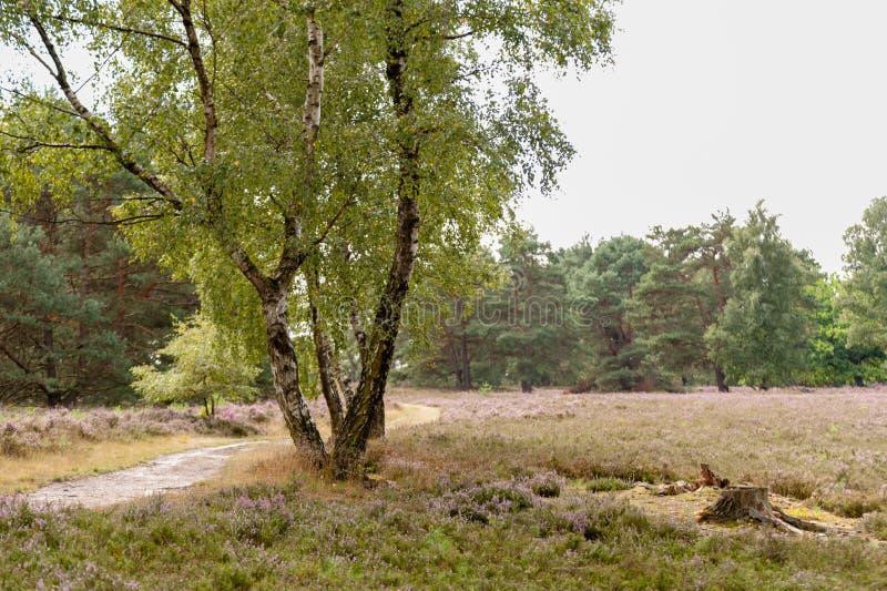 Wanderweg, Birken, Kiefern, Heide und ein Baumstumpf, bei Tageslicht. Trail,birches, pines, heather and a tree stump at day in Fischbeker Heide Hamburg, Germany royalty free stock photography