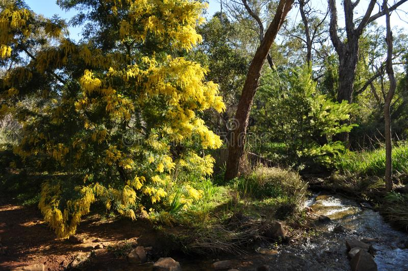 Australian bushland in Springtime, near Perth, Western Australia. Trail, creek and Wattle tree with golden flowers, Whistlepipe Gully Walk, Mundy Regional Park royalty free stock photos